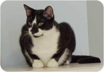 Domestic Shorthair Kitten for adoption in Naples, Florida - Abbott