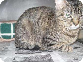 Domestic Shorthair Cat for adoption in Edwardsville, Illinois - Cleo