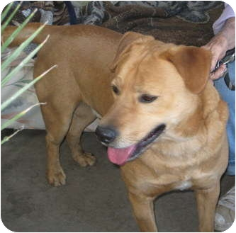 Labrador Retriever Mix Dog for adoption in Sun Valley, California - Cooper