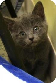 Domestic Shorthair Kitten for adoption in West Des Moines, Iowa - Nish