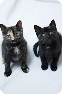 Domestic Shorthair Kitten for adoption in Chicago, Illinois - Belle & Tiana