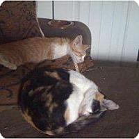 Adopt A Pet :: Daffy (kitten) - Mobile, AL