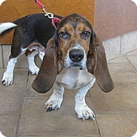Adopt A Pet :: Petey Pawford - Barrington, IL