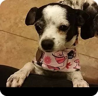 Chihuahua/Chihuahua Mix Dog for adoption in Goodyear, Arizona - Star