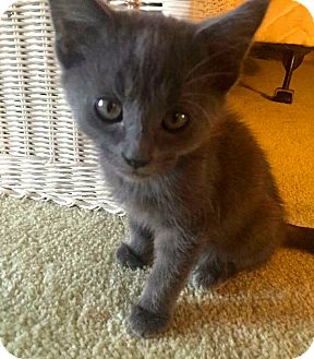 Russian Blue Kitten for adoption in Arcadia, California - Maple