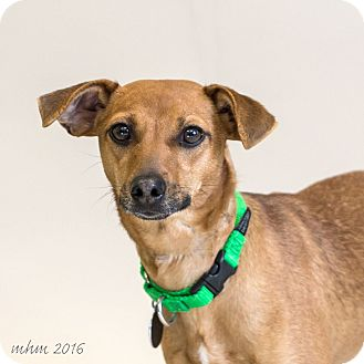 Chihuahua/Dachshund Mix Puppy for adoption in Naperville, Illinois - Brownie