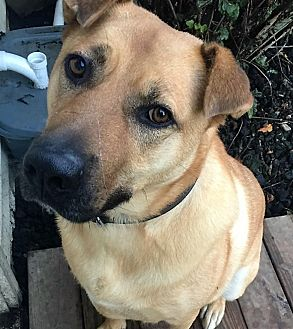 Shepherd (Unknown Type)/Rhodesian Ridgeback Mix Dog for adoption in Bruce Township, Michigan - Trumbull