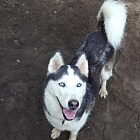 Husky Dog for adoption in Conway, South Carolina - Skye