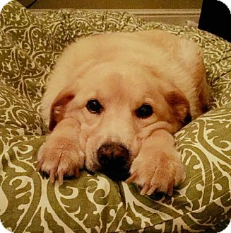 Labrador Retriever Mix Dog for adoption in Nyack, New York - Belle