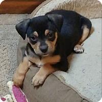 Adopt A Pet :: Elf - Emmett, MI