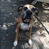 Boxer Dog for adoption in Austin, Texas - Hickory