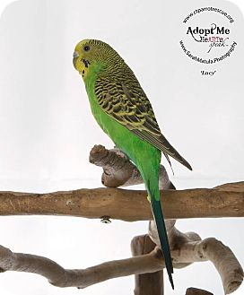 Budgie for adoption in Stratford, Connecticut - Lucy