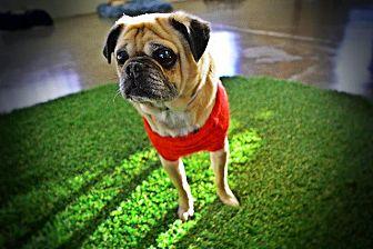 Pug Dog for adoption in Gardena, California - Bok Bok