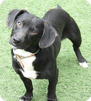 Corgi/Dachshund Mix Dog for adoption in Williamsport, Maryland - Bo (25 lb) Perfect Family Pet