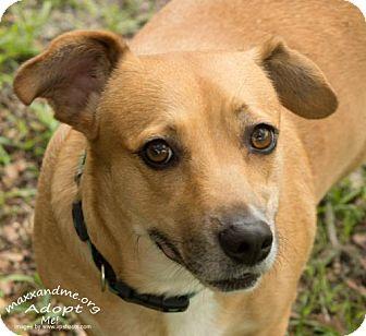 Corgi/Dachshund Mix Dog for adoption in Tampa, Florida - Katie