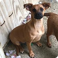 Adopt A Pet :: Ginger - Charlotte, NC