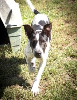 Australian Cattle Dog Mix Dog for adoption in Staley, North Carolina - Oreo