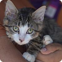 Adopt A Pet :: Celexa - Brooklyn, NY
