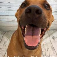 Adopt A Pet :: Kelsey - Land O'Lakes, FL