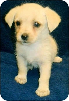 Terrier (Unknown Type, Small)/Poodle (Miniature) Mix Puppy for adoption in Los Angeles, California - Bacardi