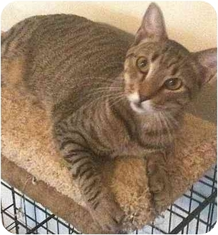 Domestic Shorthair Cat for adoption in Sugar Land, Texas - Nelson