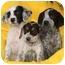 Photo 1 - German Shorthaired Pointer Mix Puppy for adoption in El Segundo, California - Betty