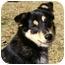 Photo 1 - Sheltie, Shetland Sheepdog/Australian Shepherd Mix Dog for adoption in Mocksville, North Carolina - Nikki