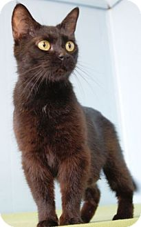 Bombay Cat for adoption in Columbus, Ohio - Thin Mint