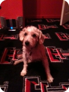 Jack Russell Terrier Dog for adoption in Dallas/Ft. Worth, Texas - Zander in Dallas