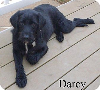 Labradoodle/Poodle (Standard) Mix Puppy for adoption in New Jersey, New Jersey - NJ - Darcy