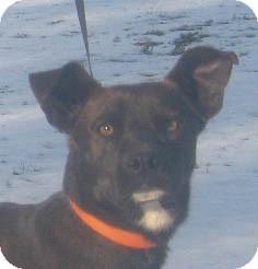 Basenji/Labrador Retriever Mix Dog for adoption in Jacksonville, Florida - Bruno