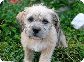 Shih Tzu/Pit Bull Terrier Mix Puppy for adoption in Los Angeles, California - Vixen