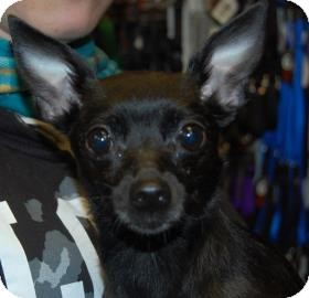 Chihuahua Mix Dog for adoption in Brooklyn, New York - Tribeca