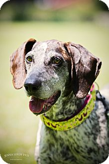 German Shorthaired Pointer/Hound (Unknown Type) Mix Dog for adoption in Jersey City, New Jersey - Abby Cadabby