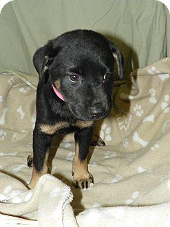 Retriever (Unknown Type) Mix Puppy for adoption in Waldorf, Maryland - Cayenne