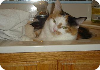 Calico Cat for adoption in Chandler, Arizona - Little Cal