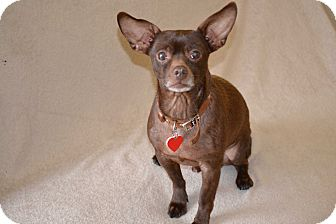 Toy Fox Terrier/Chihuahua Mix Dog for adoption in Redondo Beach, California - Diesel..I am easy and so sweet