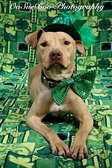 Labrador Retriever/American Pit Bull Terrier Mix Dog for adoption in Detroit, Michigan - Crash  *Amputee*