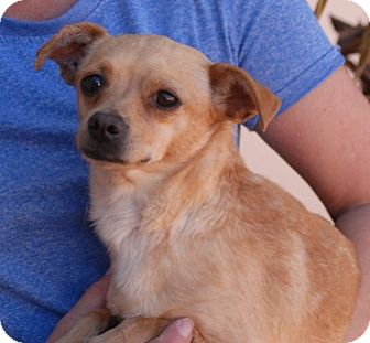 Chihuahua Mix Dog for adoption in Las Vegas, Nevada - Coco