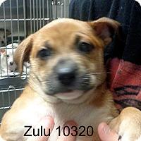 Adopt A Pet :: Zulu - Greencastle, NC
