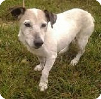 Jack Russell Terrier Dog for adoption in Wisconsin Dells, Wisconsin - SnowFlake