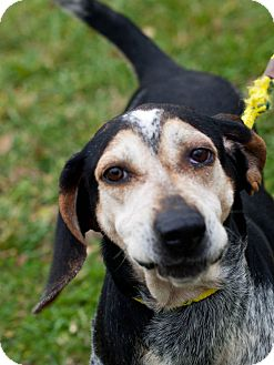 Bluetick Coonhound Dog for adoption in Farmington, Michigan - Mattie