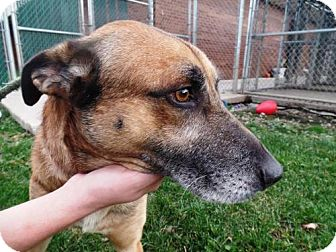 German Shepherd Dog Mix Dog for adoption in Crown Point, Indiana - Loco