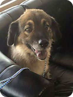 Belgian Shepherd/Border Collie Mix Dog for adoption in Miami, Florida - Vicki