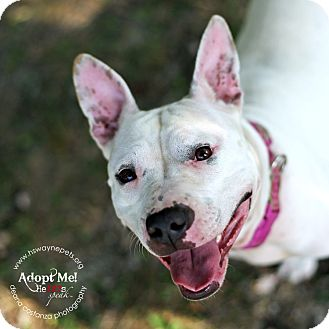 American Pit Bull Terrier Mix Dog for adoption in Lyons, New York - Coconut