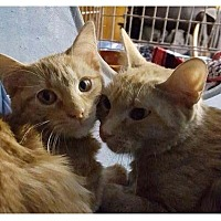 American Shorthair Cat for adoption in New York, New York - Paulina