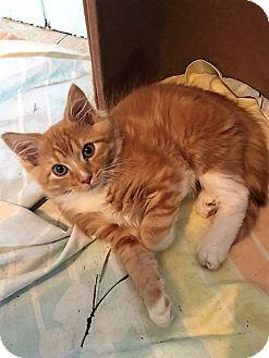 Domestic Shorthair Kitten for adoption in Dumfries, Virginia - Ozzie
