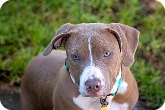 Basset Hound/American Bulldog Mix Dog for adoption in Navarre, Florida - Precious