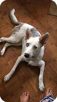 Australian Cattle Dog/Australian Shepherd Mix Puppy for adoption in Red Lion, Pennsylvania - DODGER