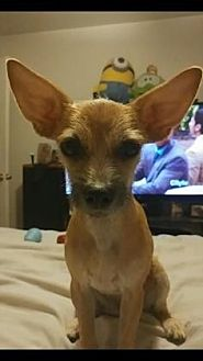 Chihuahua Mix Dog for adoption in Scottsdale, Arizona - Selena